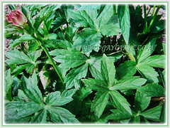 Leaves of Astrantia major (Greater Masterwort, Great Black Masterwort, Melancholy Gentlemen) with serrated margins, March 2 2018