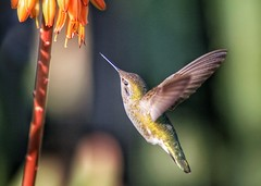 Ever See a #Hummingbird Blink?