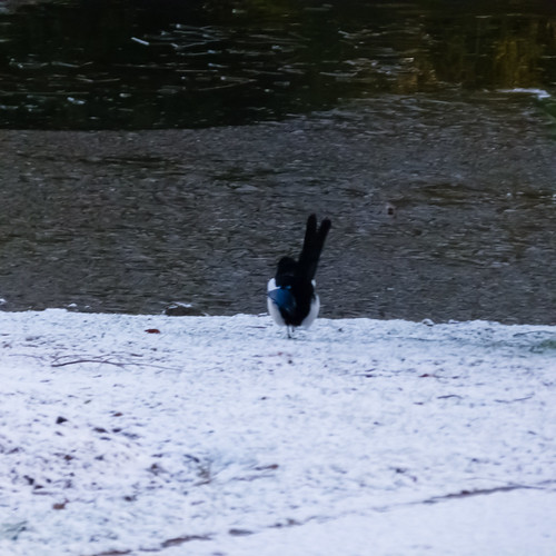 Magpie / icy lake