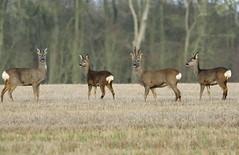 HolderRoe Deer,  Capreolus capreolus