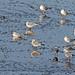 New Ferry Gulls