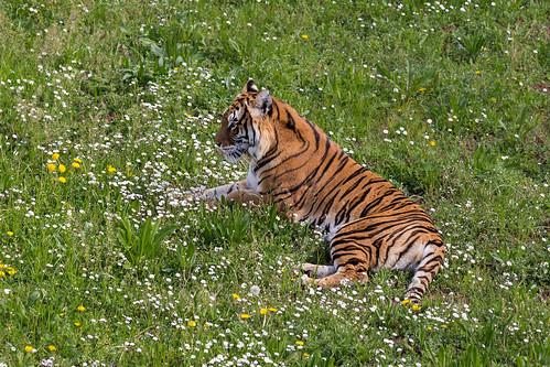 Bengal tiger  240317-8187