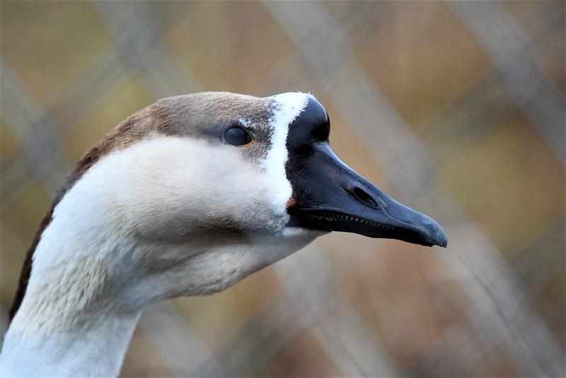 Goose 21.01 (12)