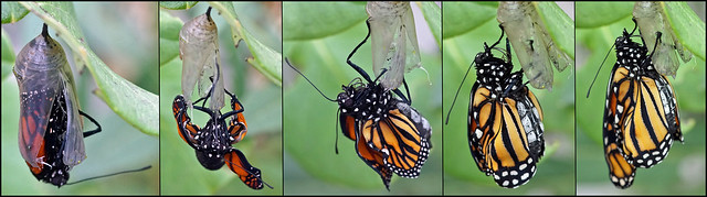 Monarch emerging from the chrysalis