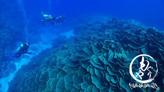 ウーロンチャネル名物のキャベツサンゴ達。ヨコミゾスリバチサンゴ♪
