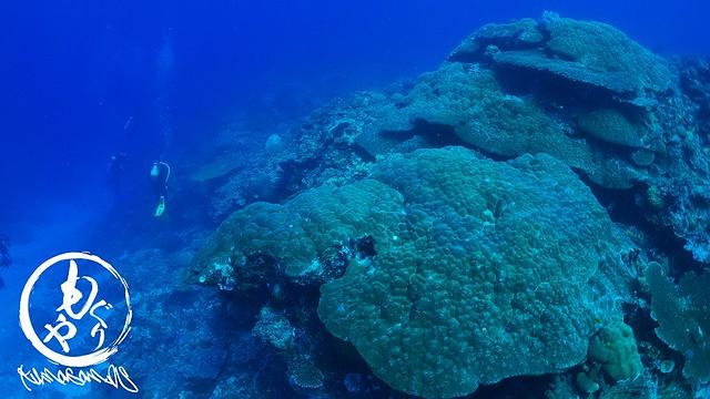 途中見れるサンゴがキレイでしたよ♪ こちらは大きなコブハマサンゴ♪
