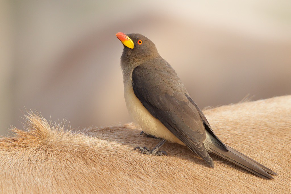 Yellow-billed Oxpecker   Buphagus africanus