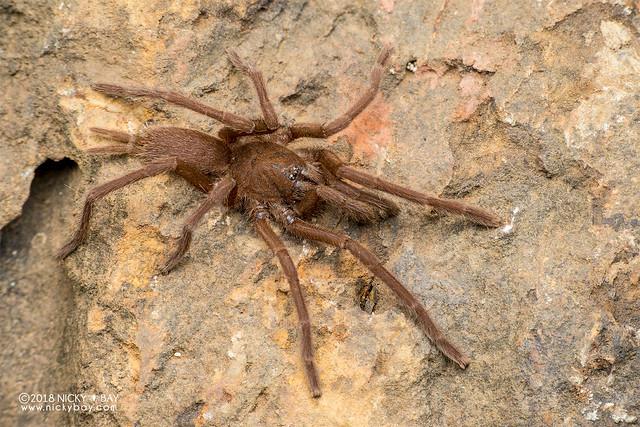 Brown tarantula (cf. Phlogiellus sp.) - DSC_0492