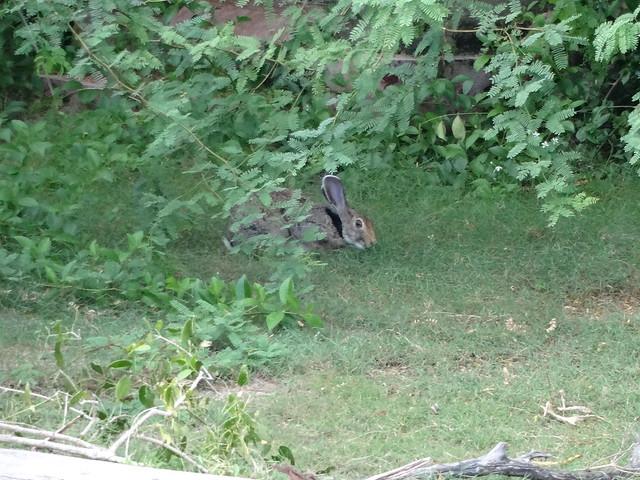 Wild black necked rabbit, Sony DSC-WX150
