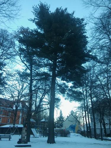 Pinus strobus 20180118_160454