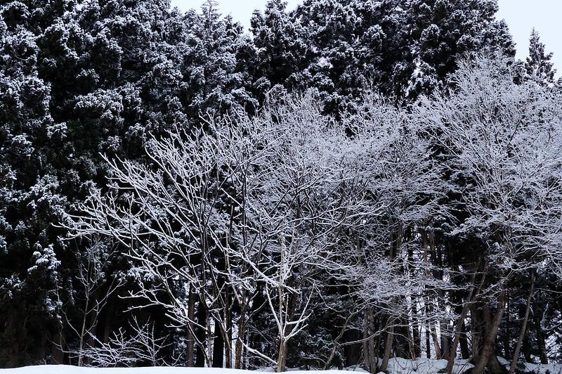 美しく雪化粧した木々_201801