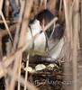 Grèbe huppé - Podiceps cristatus - Great Crested Grebe : Michel NOËL © 2018-9925.jpg by Michel NOËL 1,3 M + views .Thanks to visits