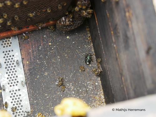 Spaanse bijen (Apis mellifera Iberica) bij imker Lee Morley kever