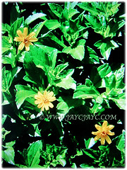 Sphagneticola trilobata (Singapore Daisy, Creeping-oxeye, Trailing Daisy, Wedelia) can grow up to 30 cm tall, Feb 22 2018