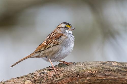 bokeh portrait wiildlife whitethroatedsparrow nature bird songbird sparrow beauty peacevalley perch pose branch doylestown pennsylvania unitedstates us nikon d500