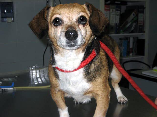 Meticcio beagle