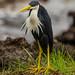 Ardea picata / Pied Heron / Elsterreiher by betadecay2000