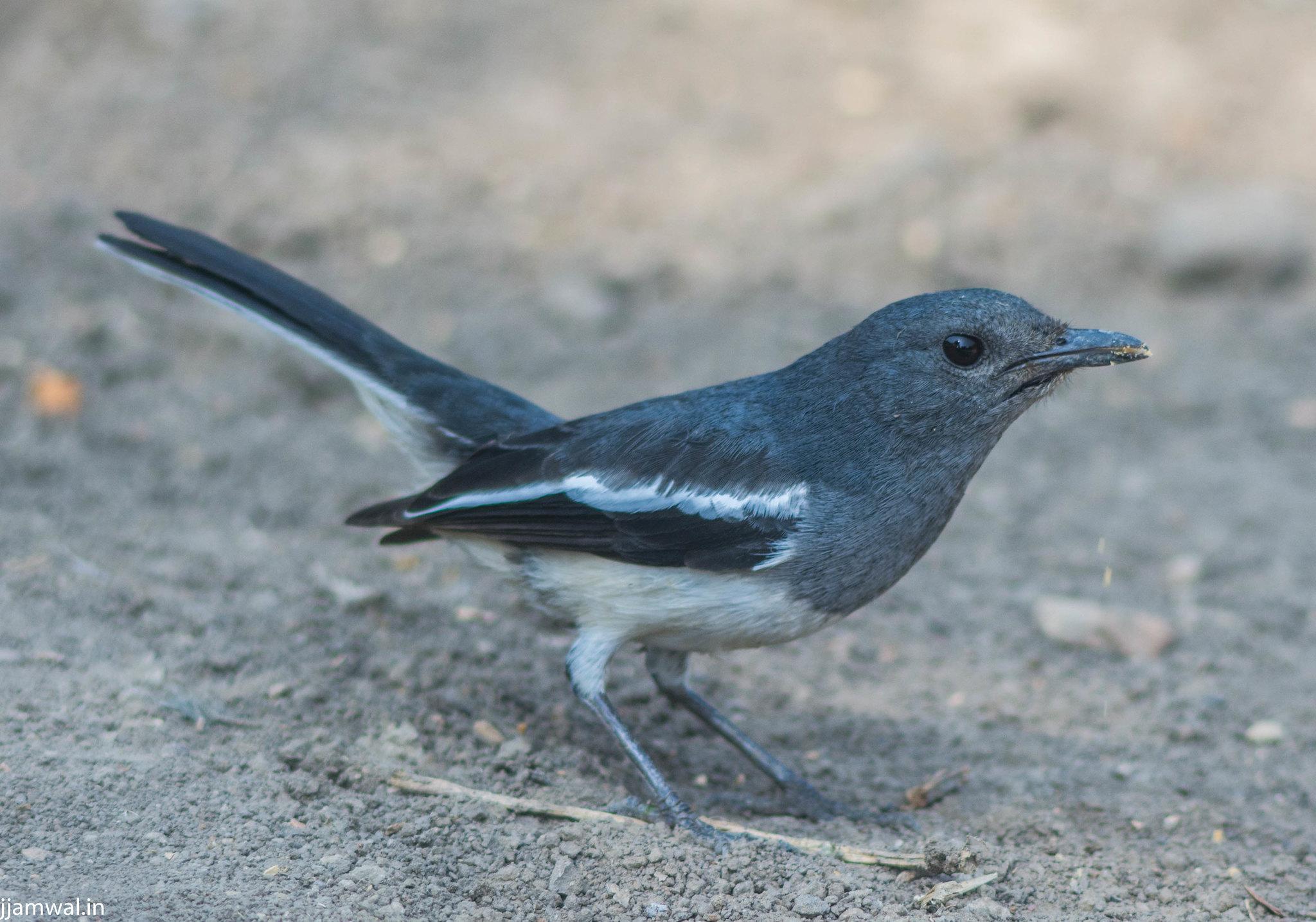 Oriental magpie-robin (Copsychus saularis), female