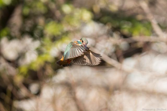 20180203-kingfisher-DSC_6943