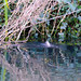 Gone fishin' - little grebe, Compton