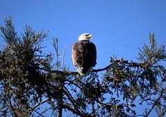 Bald eagle- Mom 作者 Susan LeClair