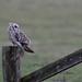 Short Eared Owl - Elmley NNR IMG_2493