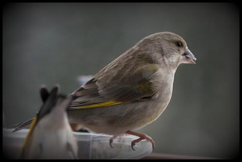 les visiteurs à plumes sauvages - 3 28417616189_0971134179
