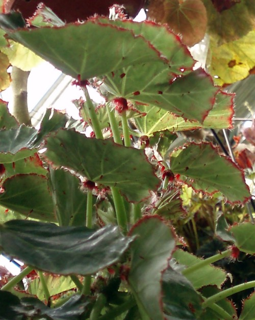 Begonia manicata 39138248085_cb244da349_o