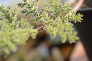DSC_4461 Pelargonium triste  ペラルゴニウム トリステ