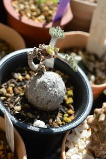 DSC_0983 Pelargonium triste  ペラルゴニウム トリステ