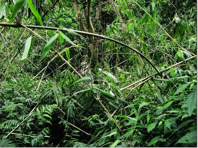 藤蔓式細竹區