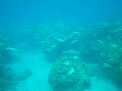 yellowfin goatfish (Mulloidichthys vanicolensis), Mauna Kea Beach_1_11102015