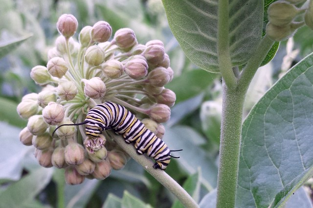 large monarch caterpillar eating common milkweed buds