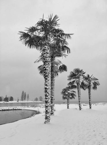 Palm trees Tree branches outlined in snow on a snowy day in Vancouver