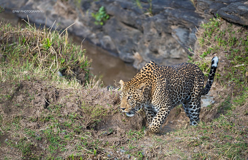 A male leopard coming up a river bank