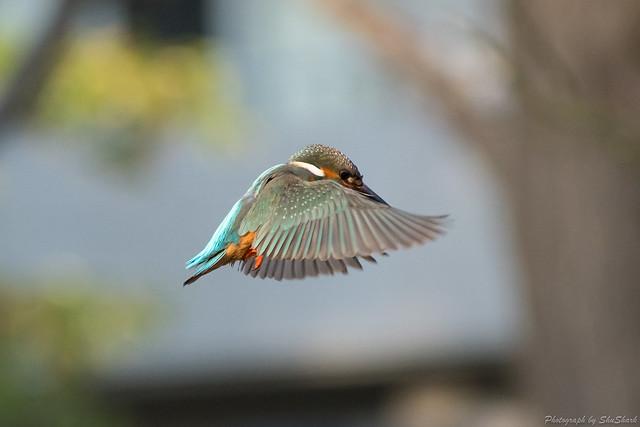 20180129-kingfisher-DSC_6385