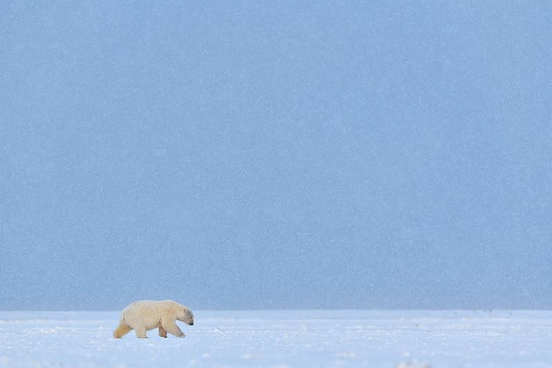 IJsberen in Alaska