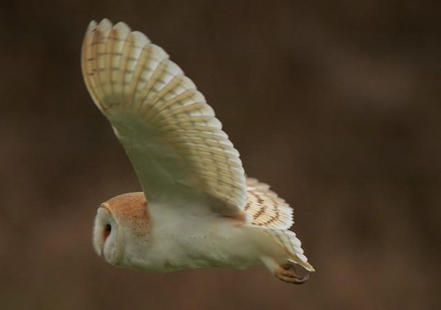Barn Owl in flight, Nikon D7100, AF-S VR Nikkor 300mm f/2.8G IF-ED II