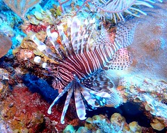 Lionfish - Blackbird Caye - Belize 2018