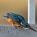 Kingfisher, Male--