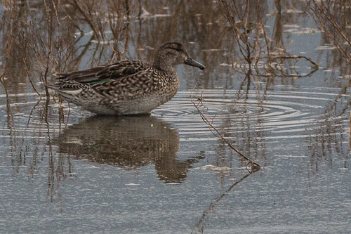 Eurasian Teal - female