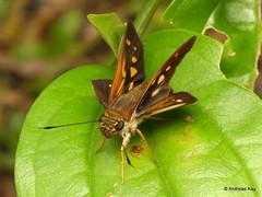 Skipper, Vettius sp., Hesperiidae