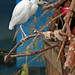 Cattle Egret on a Perch