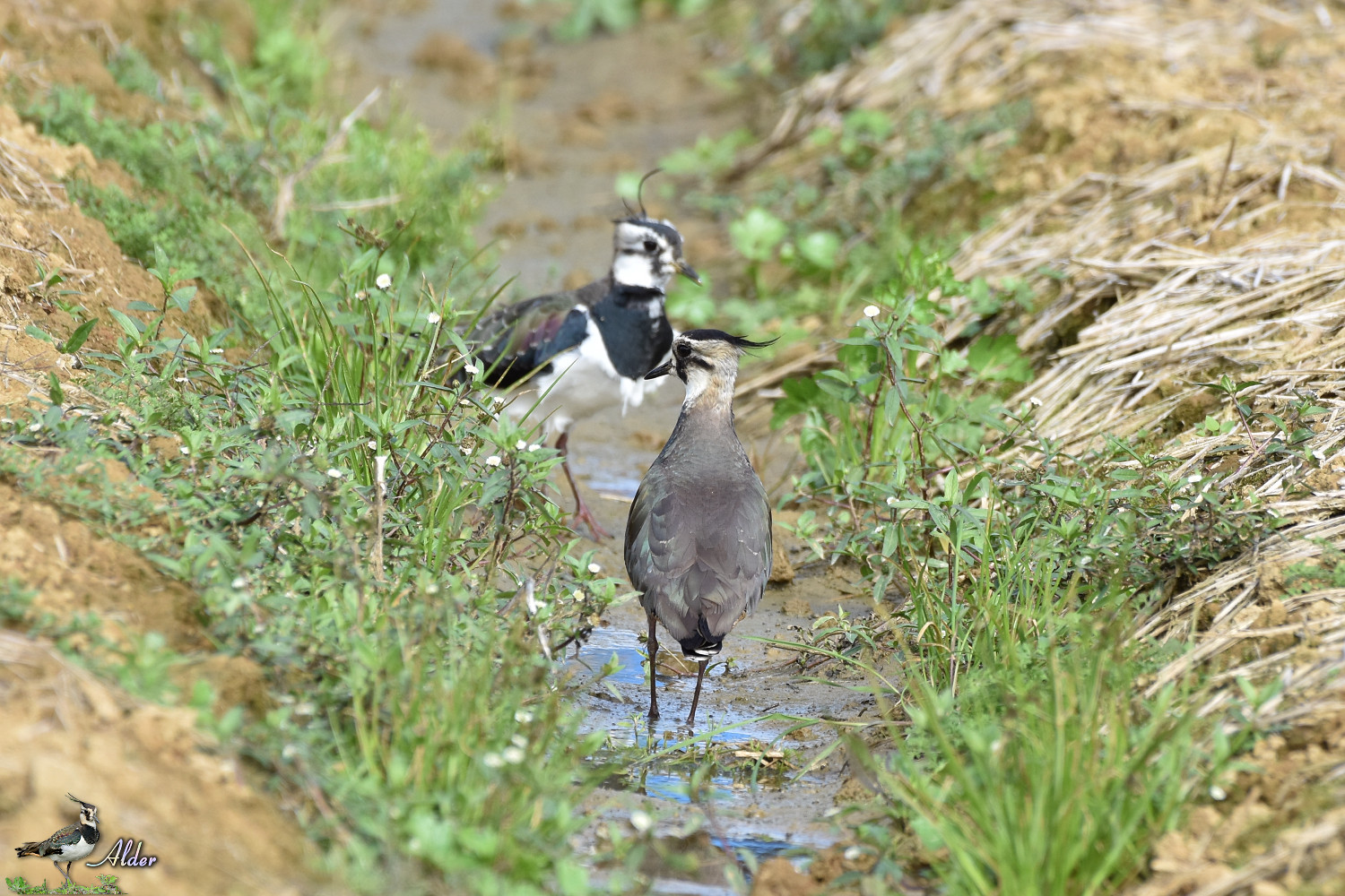 Northern_Lapwing_7416