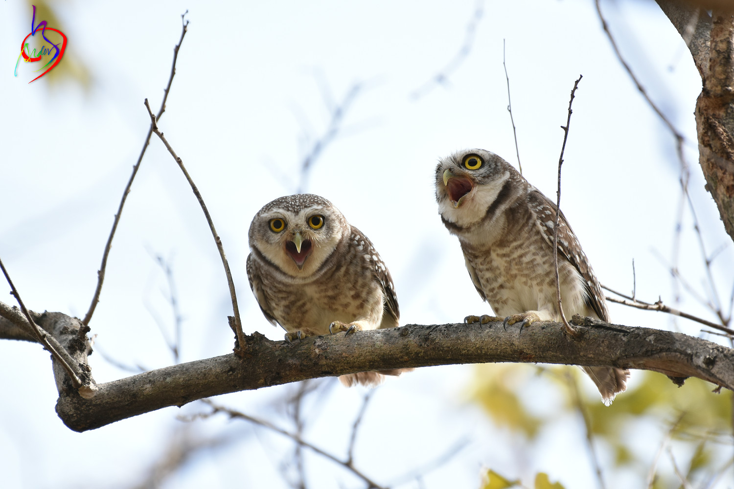 Spotted_Owlet_3455