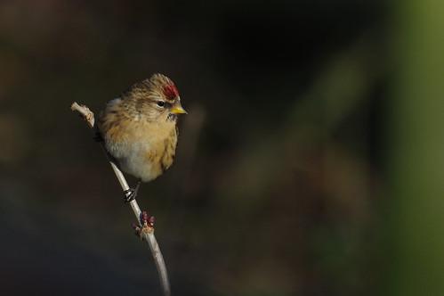 wild bird wildlife nature barnwellcountrypark northamptonshire woodland redpoll carduelisflammea