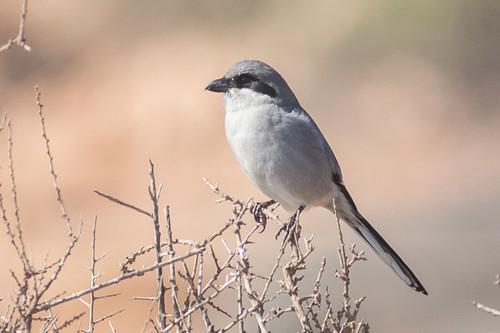 Southern Grey Shrike - race algeriensis