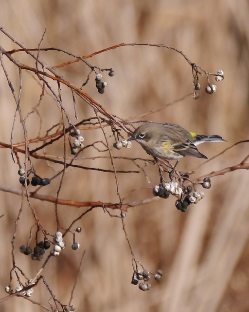Yellow-rumped Warbler on Chinese Tallow Tree