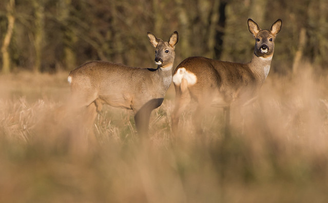 Roe Deer - mother and son -
