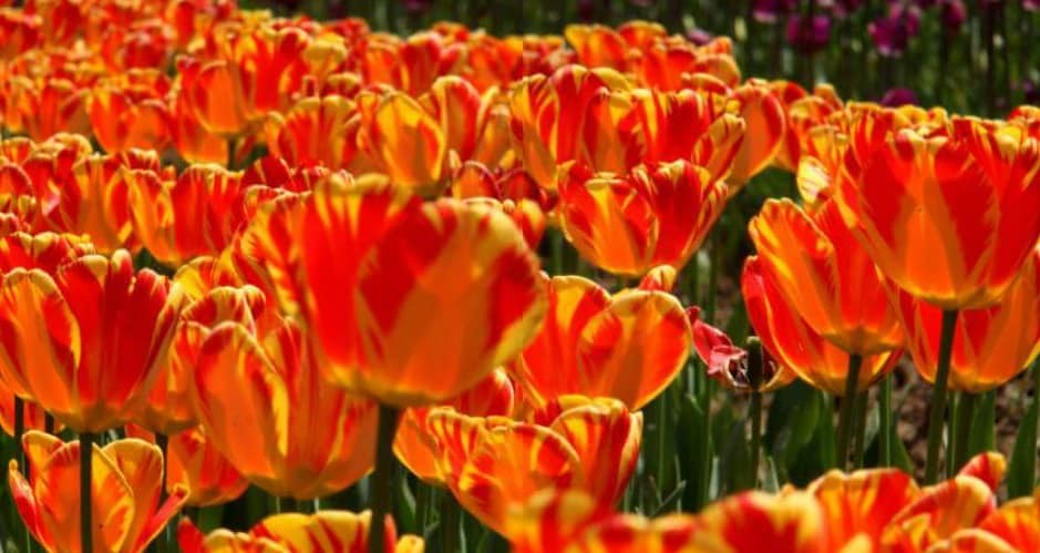The flowers at srinagar tulip festival have many funny names